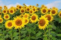 b_Sonnenblumen.jpg