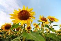 c_Sonnenblumen.jpg