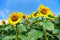 d_SonnenblumenSommer 8.jpg