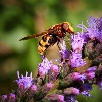 weibliche Hornissenschwebfliege 6.jpg