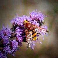 weibliche Hornissenschwebfliege 8.jpg