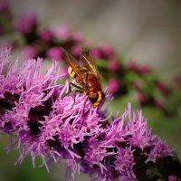 weibliche Hornissenschwebfliege 4.jpg
